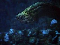 Murena在蓝色海察觉了蛇靠近珊瑚紧密  图库摄影