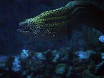 Murena在蓝色海察觉了蛇靠近珊瑚紧密w 免版税库存照片