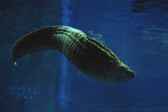 Murena察觉了海蛇在深大海靠近珊瑚 免版税库存照片