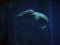 Murena察觉了海蛇在深大海靠近珊瑚 免版税图库摄影