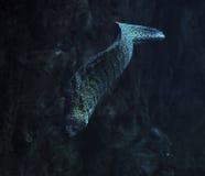 Murena蛇被察觉在深海在岩石附近 免版税库存图片