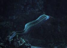 Murena蛇被察觉在深海 免版税库存图片