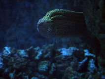 Murena запятнало змейку на темносинем море около кораллов близко Стоковые Изображения