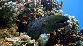 Murena на коралловом рифе Стоковые Изображения RF