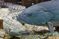 Murena和石斑鱼 库存照片
