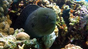 Murena on coral reef. Red sea stock footage
