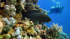 Murena on Coral Reef. Red sea stock video footage