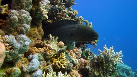Murena on Coral Reef. Red sea stock video