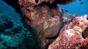 Murena ed operatore subacqueo subacquei sul fondale marino della barriera corallina in Maldive stock footage