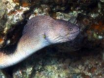 Murena - een nachtroofdier Royalty-vrije Stock Afbeeldingen