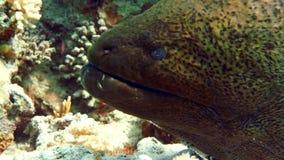 Murena en Coral Reef almacen de metraje de vídeo