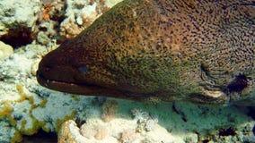 Murena en Coral Reef almacen de video