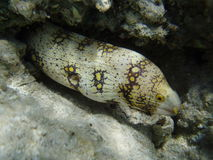 Murena en Mer Rouge Images stock