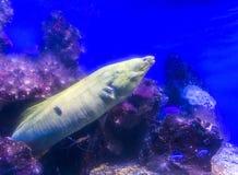 Murena fish hunting underwater Royalty Free Stock Photo