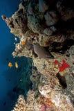 murena gigantyczny ocean Zdjęcia Royalty Free
