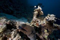 murena gigantyczny ocean Zdjęcie Royalty Free