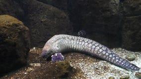 Murena i duża ryba zbiory