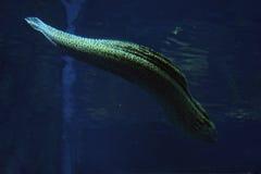 Murena manchó la serpiente de mar en el agua azul profunda cerca de los corales Imagen de archivo libre de regalías
