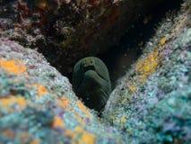 Murena, mare di cortez, la Bassa California immagini stock libere da diritti