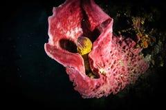 Murena (Muraenidae) che sporge dalla barriera corallina Fotografia Stock Libera da Diritti