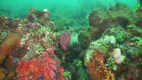 Murena na rafie koralowa zbiory