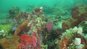 Murena na rafie koralowa zdjęcie wideo