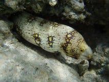 Murena no Mar Vermelho imagens de stock