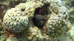 Murena på Coral Reef lager videofilmer