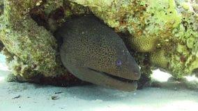 Murena på Coral Reef stock video