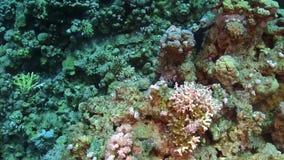 Murena på Coral Reef arkivfilmer