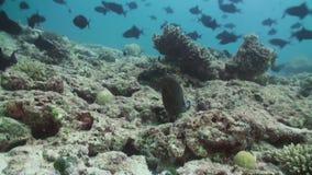 Murena podpatruje z chować na rafie koralowa Maldives zbiory