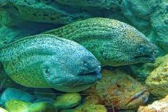 Murena and scorpionfish Stock Photo