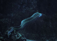 Murena snake spotted at deep ocean Royalty Free Stock Image