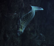 Murena snake spotted at the deep ocean near the rock Royalty Free Stock Image