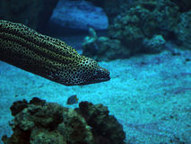 Murena spotted sea snake at deep blue ocean near the corals. Murena spotted sea snake at the deep blue ocean near the corals close-up Royalty Free Stock Photo