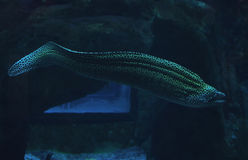 Murena spotted sea snake at the deep blue ocean near the corals Stock Images