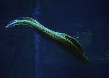 Murena spotted sea snake at deep blue water near the corals Stock Image