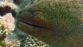 Murena su Coral Reef stock footage