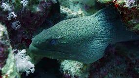 Murena su Coral Reef archivi video