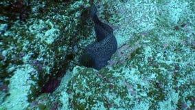 Murena subacquea in oceano su Galapagos archivi video