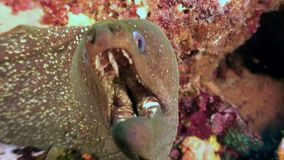 Murena subacquea in oceano su Galapagos video d archivio