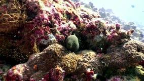 Murena subacquea sul fondale marino della barriera corallina in Maldive stock footage