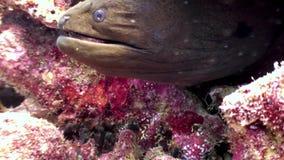 Murena subacquea sul fondale marino della barriera corallina in Maldive video d archivio