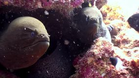 Murena subacquea sul fondale marino della barriera corallina in Maldive archivi video