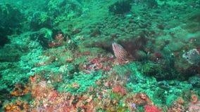 Murena węgorz na rafie koralowa zdjęcie wideo