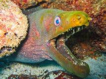 Murena węgorz podwodny przy Galapagos wyspami pokojowy Ecuador zdjęcia stock