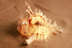 Murex Ramosus. A sea shell on the sand Stock Images