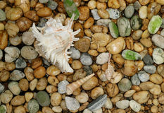 Murex Ramosus shell with another small seashells scattered on the pebble stone ground royalty free stock images