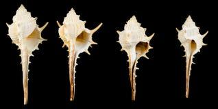 Murex. Sea shell on black Royalty Free Stock Image
