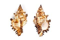 Murex Snail Shell (Chicoreus Brevifrons) Stock Photos